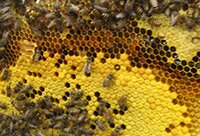 тайна старинного мёда